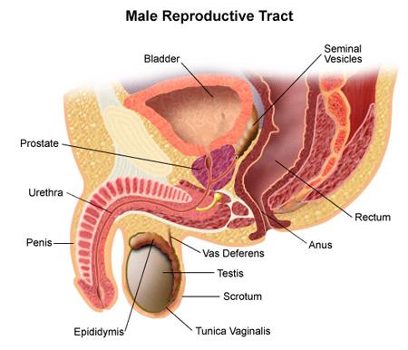 prostata-01