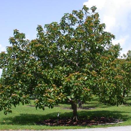 albocat-arbre