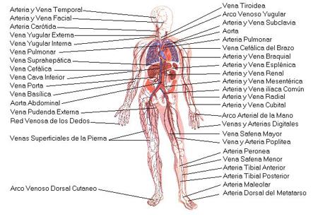 sistema-circulatori