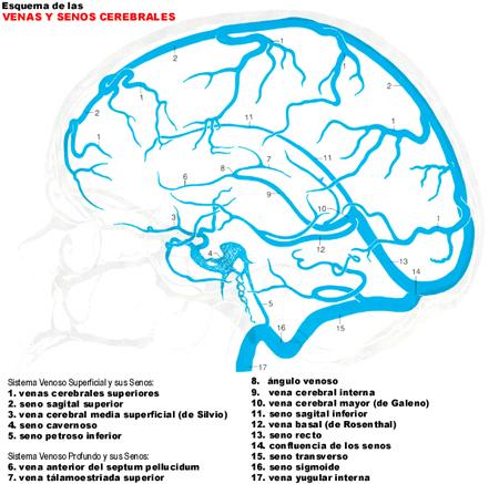 vascularitzacio-cervell-01