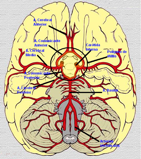 vascularitzacio-cervell
