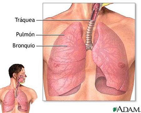 pulmons