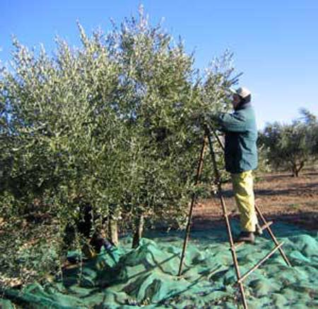 collita d'olives