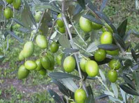 olives 01